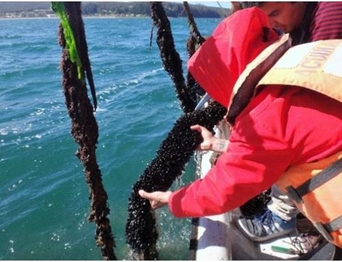 Alumnos de Biología Marina de la Universidad de Concepción realizan actividades prácticas sobre cultivo de mejillones